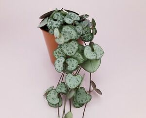 String of hearts, Ceropegia Woodii, chain of hearts Succulent Houseplant 6cm pot