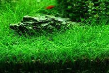 EXPRESS POST 3 POTS Eleocharis Belem Live Aquarium/Fish Tank Plant