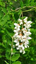 ROBINIA pseudoacacia BLACK LOCUST Honey tree 100 Seeds + GIFT SEEDS