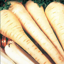 VEGETABLE  PARSNIP WHITE GEM  2500 FINEST SEEDS
