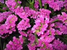 STATICE PINK - SEA LAVENDER - Limonium sinuatum 130 seeds ANNUAL FLOWER