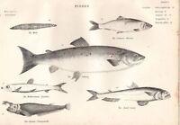 C1860 Estampado Pescado~ Herring~ Salmón~ Fetid Saury Etc