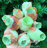 "Random Greenovia Mountain Rose Single Head Korean Rare Succulent Plant 0.5-1"""
