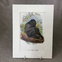 1896 Siamang Gibbon Monkey Primates Original Antique Chromolithograph Print