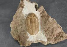 Russia trilobite  Asaphus lepidurus  Ordovician fossil Nice cut