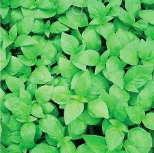 50 Catnip Seeds Nepeta Cataria Cavacrol Herbs Organic