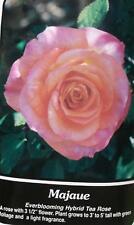 Majaue Peach Pink Rose 2 Year Live Bush Plants Shrub Plant Fine Roses