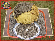 100+ Israeli Giant Seeded Sunflower Seeds * Giant seeds * GIGANTIC MONSTER