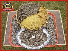 100+ Israeli Giant Seeded Sunflower Seeds * Giant seeds * GIGANTIC MONSTER