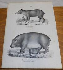 1834 Antique Print///TAPIR, HIPPOPOTAMUS