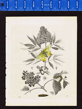 Elder tree, Sambucus nigra, Berries and Flowers & Swallow-tailed Moth -1848