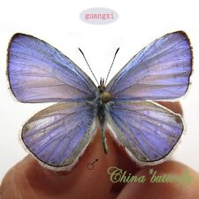 BLUE 50 unmounted butterfly lycaenidae udara dilecta GUANGXI A1 A1-