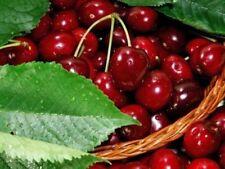Cherry Full Sun Fruit Plants