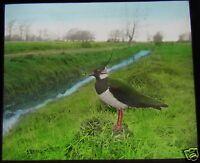 Glass Magic Lantern Slide BIRDS OF EUROPE NO88 C1910 ORNITHOLOGY PHOTO