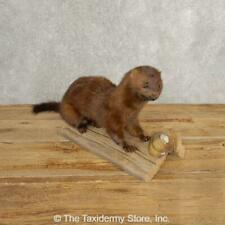 #21039 N+ | Mink Life-Size Taxidermy Mount For Sale