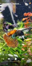 Guppies 6 pack juvenile/fry red dragon with ribbon genetics-VIDEO