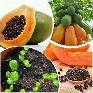 50+ Red Lady Papaya Seeds Rare Kind Sweet Tropical Edible Bonsai Plant in Garden