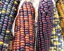 Corn Vegetable Seeds - Sugar Bright color Mandan Bright [RARE] Exp 2021 10 SEEDS