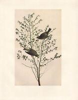 VINTAGE JOHN JAMES AUDUBON BIRD PRINT ~ ORANGE-CROWNED WARBLER