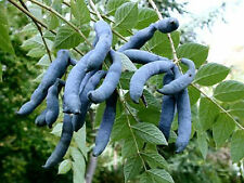 Blu Salsiccia FRUTTA-decaisnea fargesii - 10 semi-insoliti ortaggi a frutto arbusto