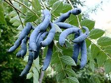 Blue Sausage Fruit - Decaisnea Fargesii - 10 seeds - Unusual Fruiting Shrub
