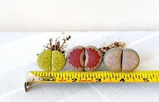 Succulent,Rare lithops,huge size,three units with pot as one set,FREE SHIP