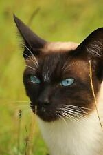 Seal Point Siamese Cat Portrait Journal : 150 Page Lined Notebook/Diary by C.