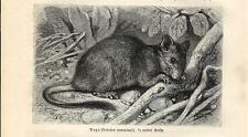Stampa antica RODITORE DEGU Octodon cummingii 1891 Old antique print