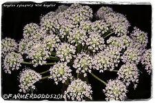 Angelica sylvestris 'Wild Angelica' [Ex. Co. Durham] 200+ SEEDS