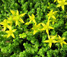 GOLD MOSS STONECROP Sedum Acre - 1,000 Bulk Seeds