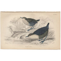 Jardine/Lizars antique hand-colored engraving bird print Pl 2 Water Ouzel
