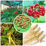 50x Chinese/Korean Panax Ginseng Asian Seeds  Fresh For Planting fashion