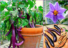 "SEEDS – Dwarf, Bonsai, ""Ichiban egg"" Purple Japanese Eggplant, Great in pots!"