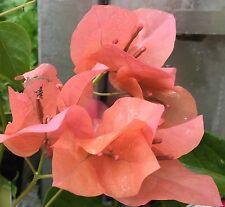 GOLDEN TANGO Bougainvillea mass apricot flowers climbing plant in140mm pot