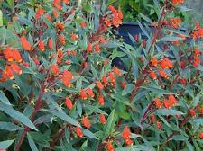 Seemannia sylvatica BOLIVIAN SUNSET HARDY GLOXINIA Seeds!