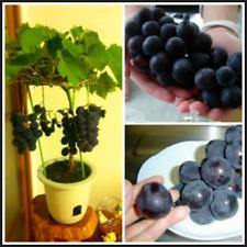Japanese Dwarf Kyoho (Vitis Labrusca) Deep Purple 50 Pcs Seeds Bonsai Grape NEW