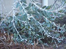BULK  1 tbs Eucalyptus pleurocarpa (tetragona) – Tallerack, seed, 1 tablespoon