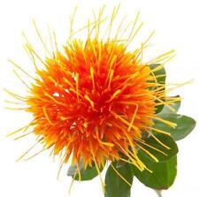 Safflower seeds CARTHAMUS TINCTORIUS Herb Flower Seeds 20 Seeds