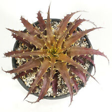 BROMELIOIDEAE ORTHOPHYTUM HARLEYI EXOTIC TREE FOR SALE COLLECTIBLE RARE PLANT