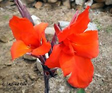 1x CANNA RHIZOME 'ALFRED COLE' RICH RED BLOOMS w/- BLUE/GREEN LEAF +FREE SEEDS