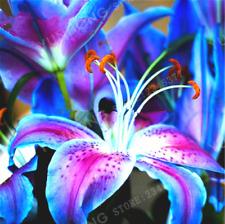 Rare Lilium Oriental Royal Blue Lily Bulbs Flowers Perennial Fragrance Stargazer
