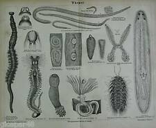 1873.Original_Xilo-Woodcut_VERMI.Meyers.Konv.Lex.