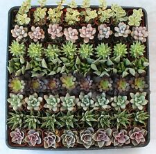 JIIMZ 80 Gorgeous SUCCULENT  WEDDING  COLLECTION succulents  party favors gifts