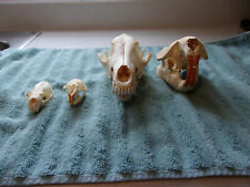 Real Coyote,Beaver,Muskrat,Min k Skulls,Taxidermy,Native natural science