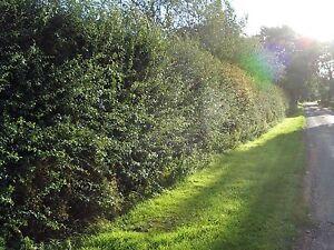 5 Hawthorn Hedging Plants,Wildlife Friendly 1-2ft In 1L Pots, Hawthorne Hedges