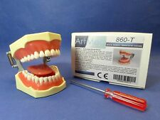 Dental Typodont Anatomy Educational Model With Tongue Universal Plate 860 ARTMED