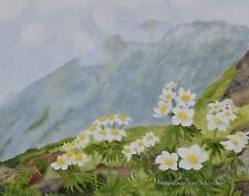 Charles Dool Botanical Watercolour Painting Anemone Narcissiflora Canada