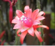 Bouture Cutting  Aporocactus Melanie