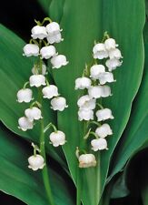 100 Seeds Lily Of The Valley Convallaria Flowers Beautiful Kinds Bonsai Plants
