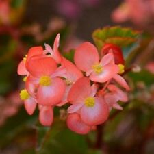"Begonia Seeds Babywing Bicolor 15 Pelleted Seeds Begonia X hybrida"" New Variety"""